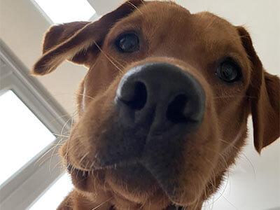 BorrowMyDoggy labrador staring at the camera from a top angle