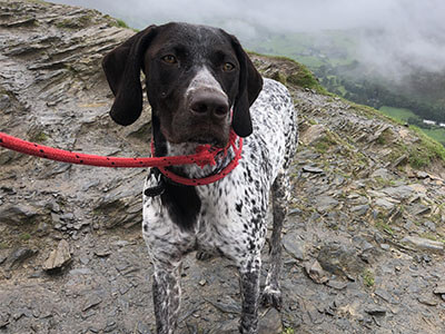 German Pointer from BorrowMyDoggy looking at camera with red lead on