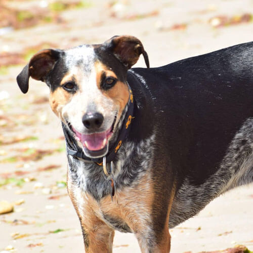 Australian Cattle Dog from BorrowMyDoggy