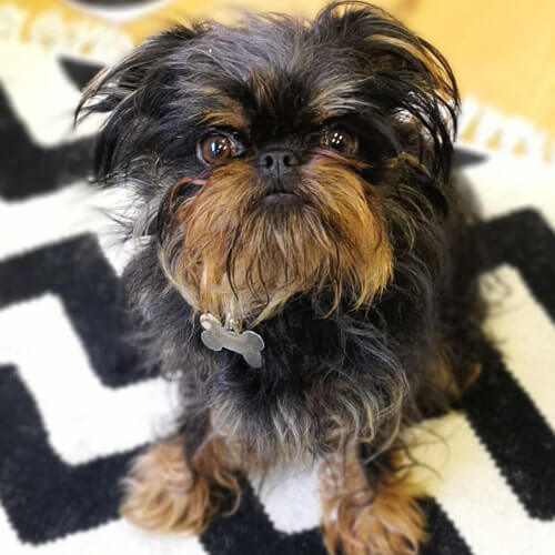 Long haired Brussels Griffon