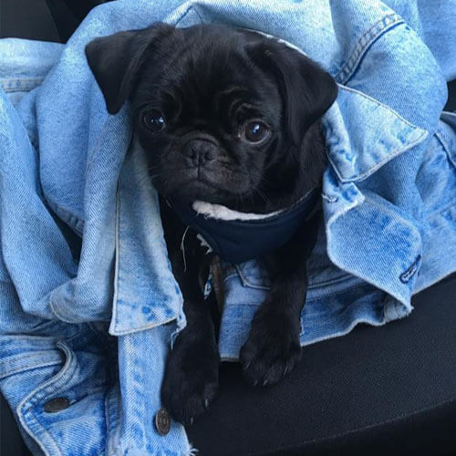 Black Pug from BorrowMyDoggy