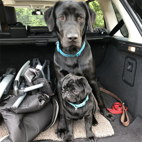 Pug and labrador