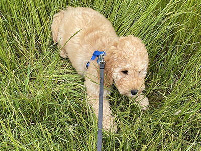 Cockapoo puppy sitting in the grass on the lead