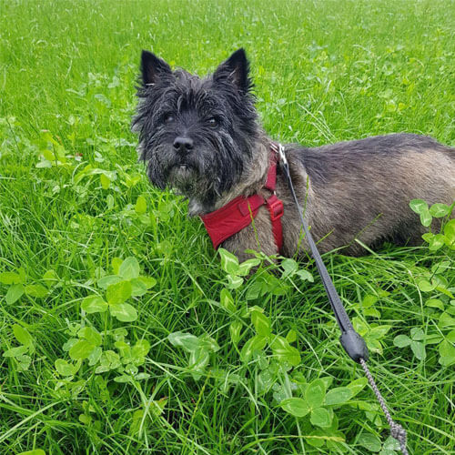 Cairn Terrier | BorrowMyDoggy - Leaving Pawprints of Happiness