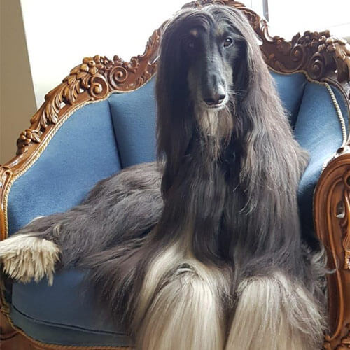 Afghan Hound on a chair