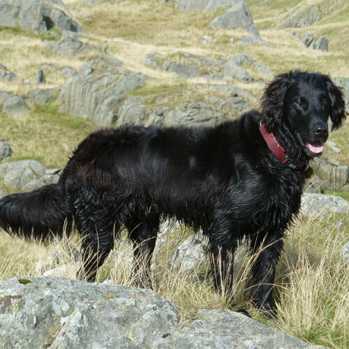 Dexter the Flat Coated Retriever from BorrowMyDoggy