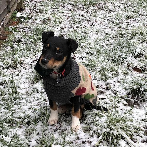 BorrowMyDoggy Jack Russell Terrier on snowy grass