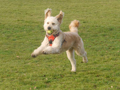 BorrowMyDoggy dog running with a field with a ball in it's mouth