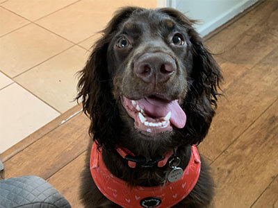 BorrowMyDoggy Cocker Spaniel looking happy with their tongue out the side of their mouth