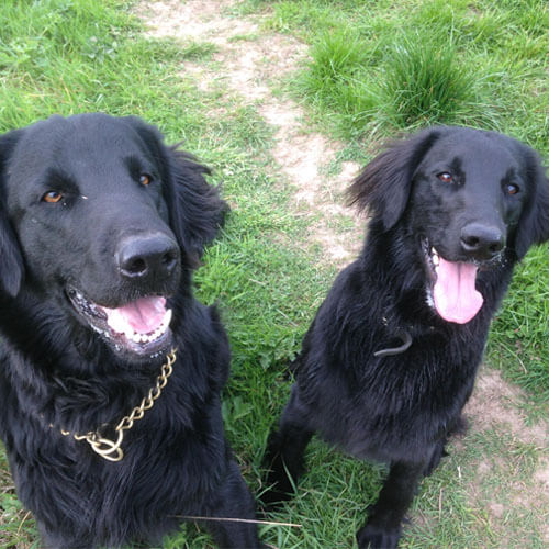Flat Coated Retrievers from BorrowMyDoggy