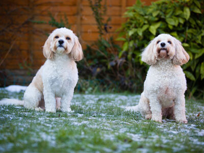 BorrowMyDoggy Cockapoos sitting on snow dusted grass