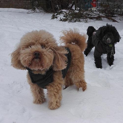 Two BorrowMyDoggy dogs in snow