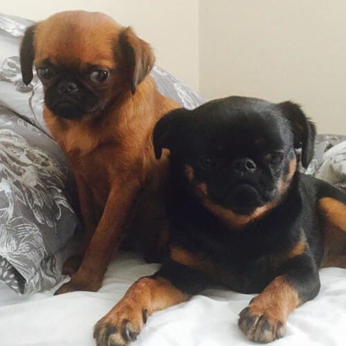 Shorthaired Brussels Griffons from BorrowMyDoggy