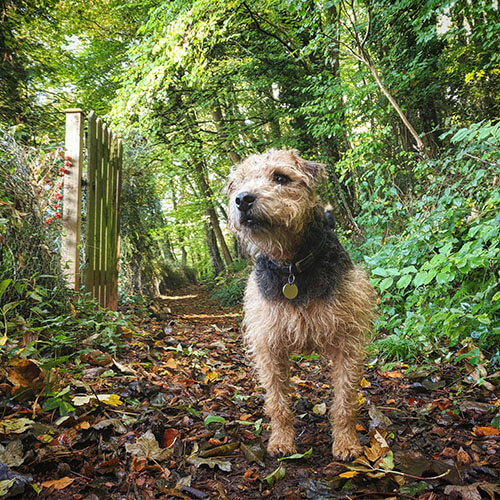 BorrowMyDoggy Border Terrier in the forest