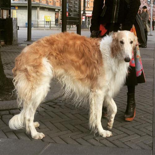Borzoi dog from BorrowMyDoggy
