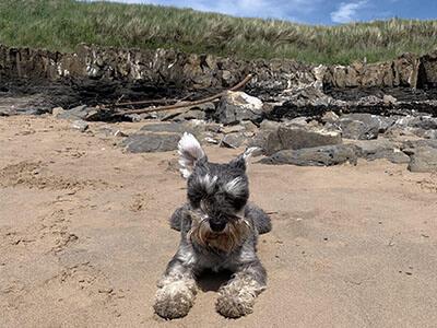 Miniature Schnazuer sitting on the beach