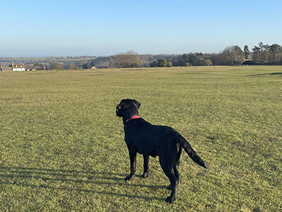 BorrowMyDoggy black Labrador in open field looking away from camera out into the distance