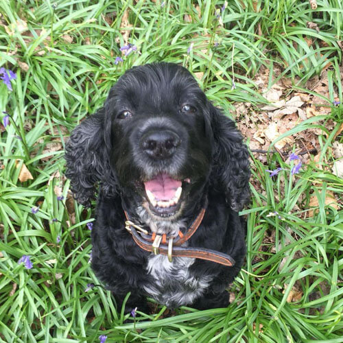 BorrowMyDoggy spaniel in grass