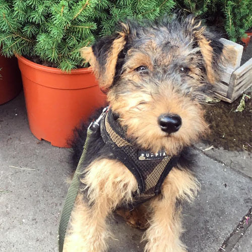 Welsh Terrier from BorrowMyDoggy