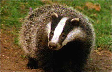 Research confirms lack of direct contact between dairy cows and badgers