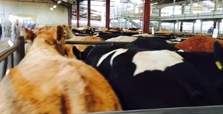 Why are cattle supplies not falling as fast as forecast?