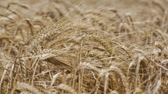 'The overall picture is positive for malt and malting barley' – NFU Scotland