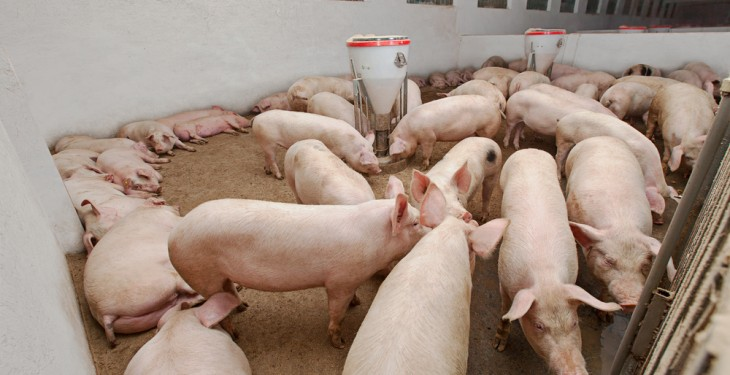 UN warns African Swine Fever could spread through Asia 'at any time'