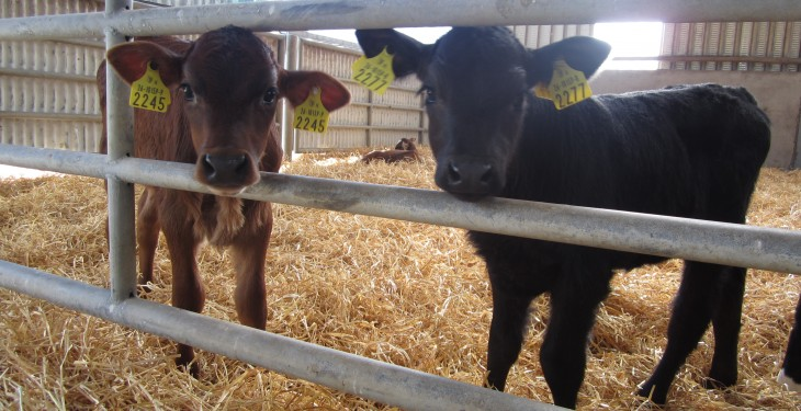 Testing new-born calves for BVD could soon be compulsory in North