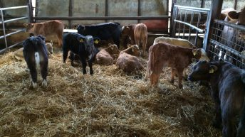 Beef sired calf registrations at highest level since 2008 in Northern Ireland