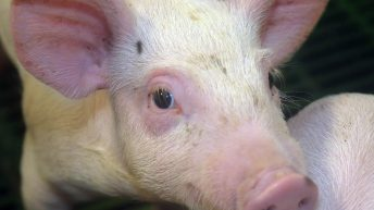 African Swine Fever risk shows 'no signs of decreasing'