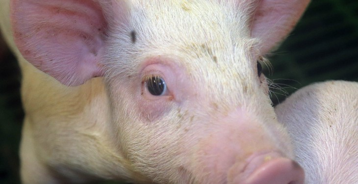 'Making pig farming great again' the theme of this year's Pig Health Society Symposium