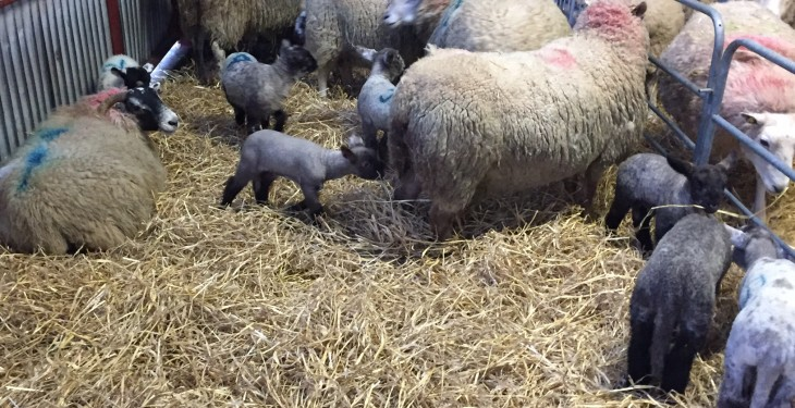 Pregnant women advised to avoid animals that are lambing or calving