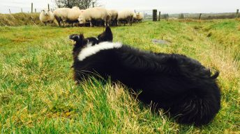 'You think your dog is just playing with sheep…that could change'