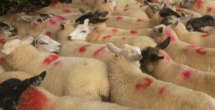 Almost 50% of Northern Irish lambs slaughtered down south in November