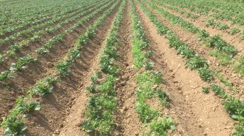 Drop in processing planting leads to third smallest potato area