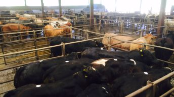 Strict Covid-19 controls in place for Stirling bull sales