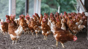 Compulsory poultry housing order in the North set to be lifted