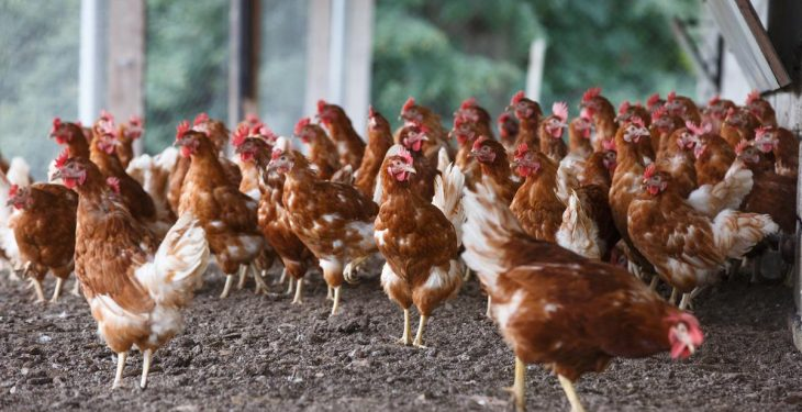 Poultry farmers urged to complete Avian Flu checklist as seasonal threat rises