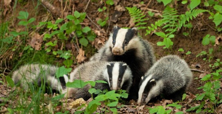 Year 3 of North's badger TB project to begin in June/July