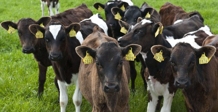 Farmers run into BVD testing problems in Northern Ireland