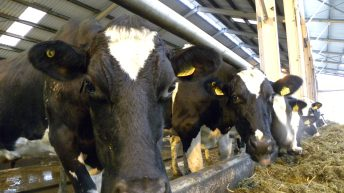 How the Dutch plan to reduce cow numbers to meet phosphate limits