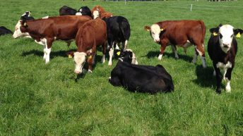 Calf health event to focus on the key stages of calf-to-beef system