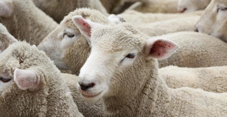 NSA warns of imminent problems over unlevel playing field of UK breeding animal trade