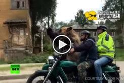 oso pardo sidecar play