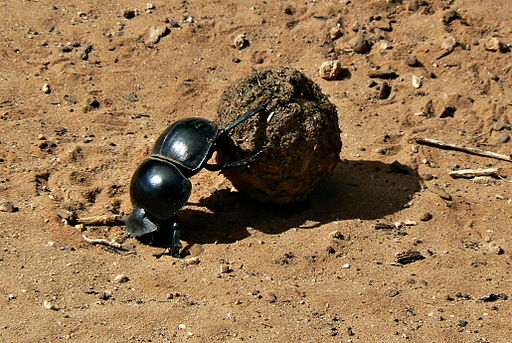 The Flightless Dung Beetle (Circellium Bachuss) at Addo Elephant National Park, South Africa. Image Credit: Kay-africa