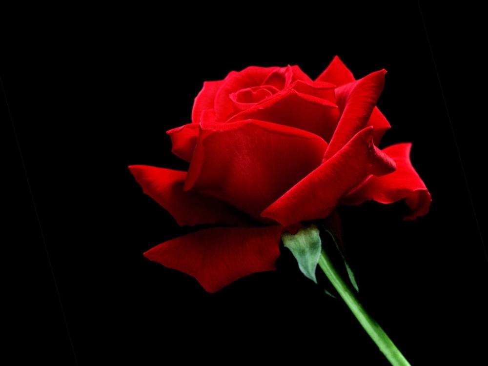 Red Rose Hoodie>