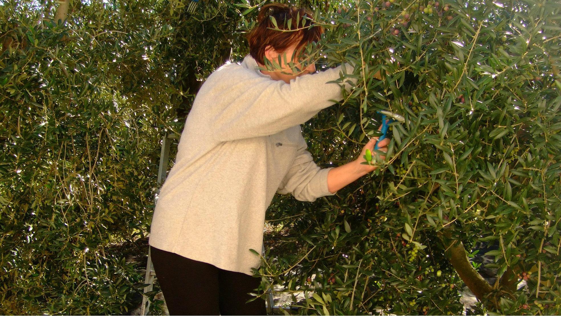 Spanje olijven