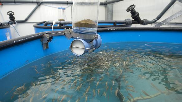 Kingfish5