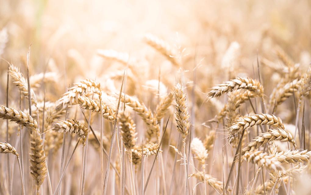 gluten : blé céréale