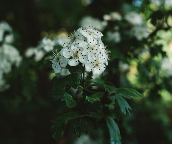 aubepine : une plante pour réduire le stress